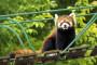 旭山動物園のレッサーパンダ