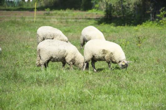 北海道大学の羊
