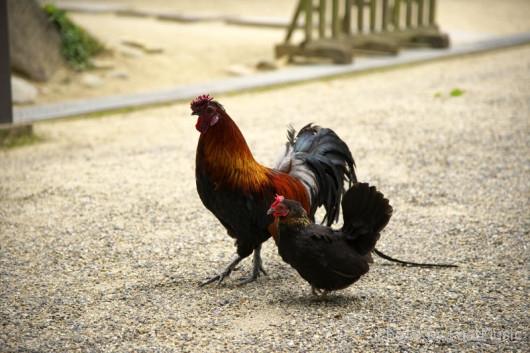 石上神宮の鶏(奈良県天理市)