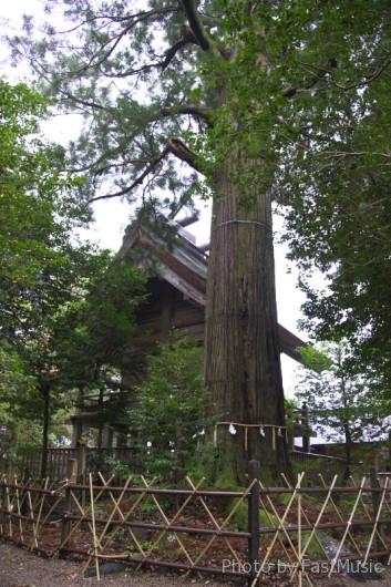 須佐神社(大杉)