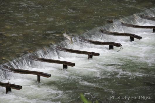 鮭の遡上(オンネベツ川)