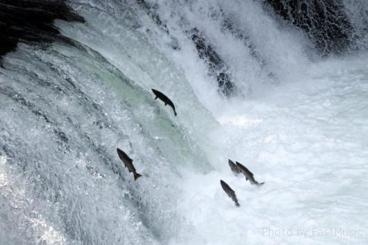 サクラマスの遡上(さくらの滝)
