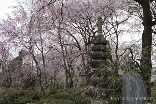佐野籐右衛門邸の桜